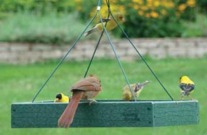 The large California Towhee joins American Gold Finches in eating at the platform feeder at the Wild Birds Unlimited store garden in Carlsbad. Courtesy photo