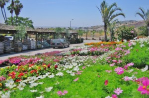 Evergreen, San Diego's largest wholesale nursery open to the public, has more than 400 acres in production and each of their retail stores has up to 80 acres of actual growing grounds to peruse. Courtesy photo