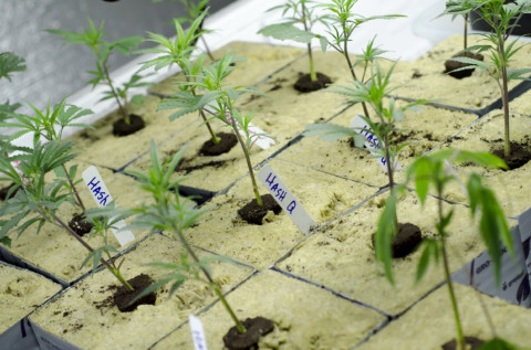 San Marcos poised to ban commercial marijuana cultivation, sales