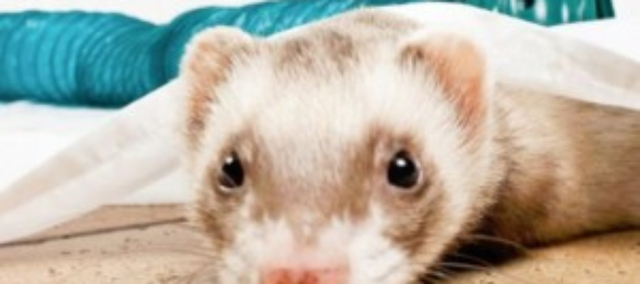Ferret legalization proclamation needed