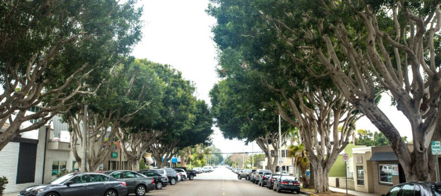 Fate of downtown ficus trees up for debate — again