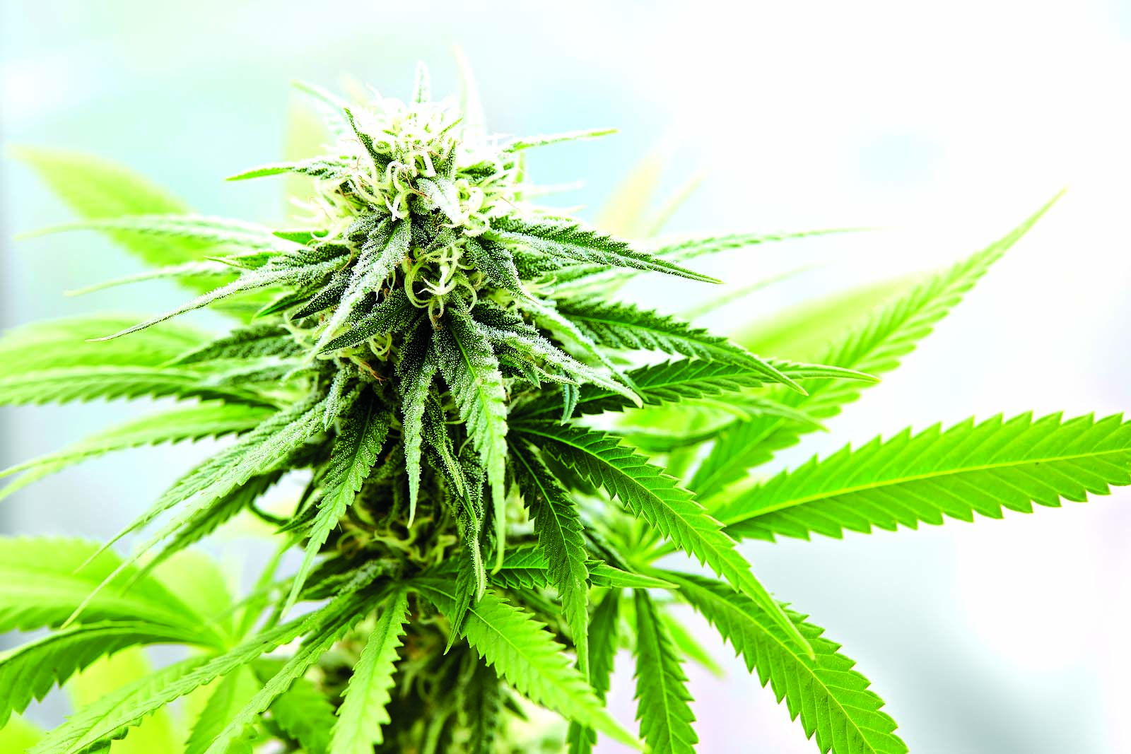 Resident seeks to put cannabis on ballot in Encinitas