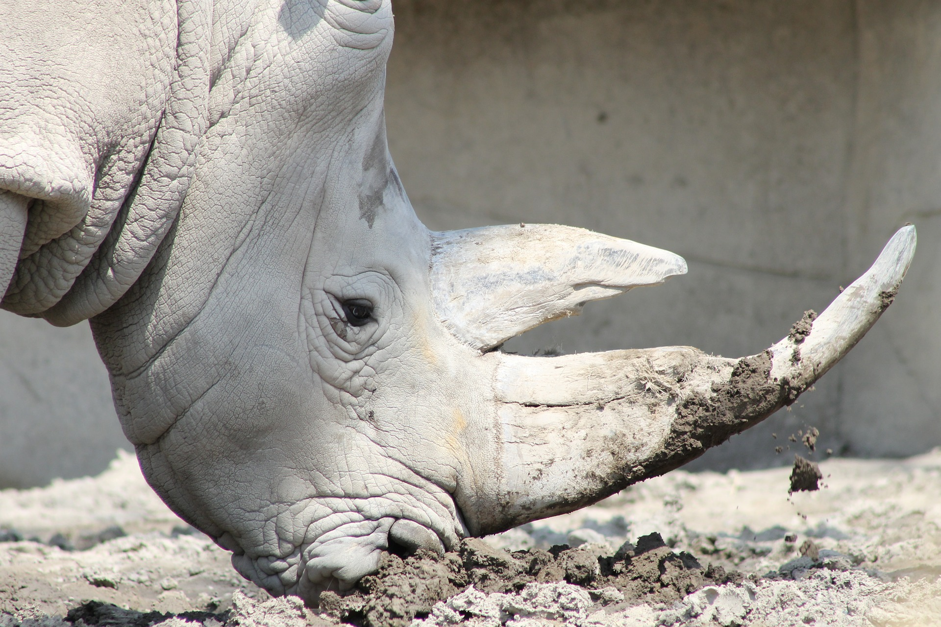 Safari Park rhino pregnancy offers hope to nearly extinct northern whites