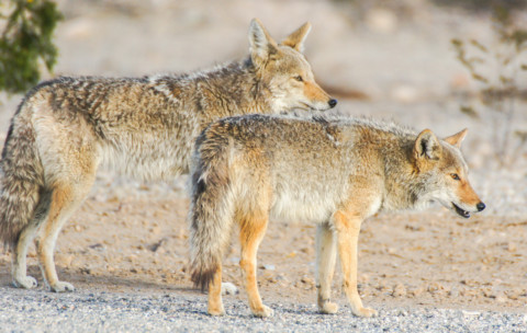 Humane Society recommends hazing coyotes to keep them away