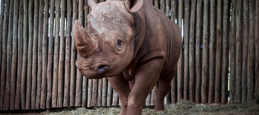 San Diego Zoo gifts black rhino to Tanzanian wildlife preserve