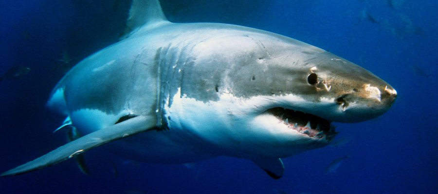 Despite great fears, chances of great white shark attack incredibly low