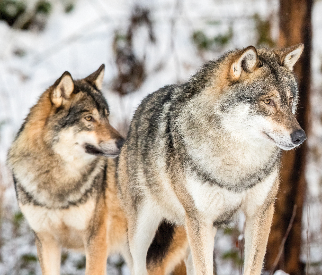 Judge upholds state protections for endangered gray wolves